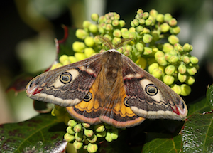 Emperor moth photo by Dean Morley